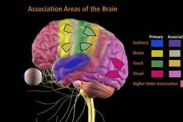 Association Areas of the Brain