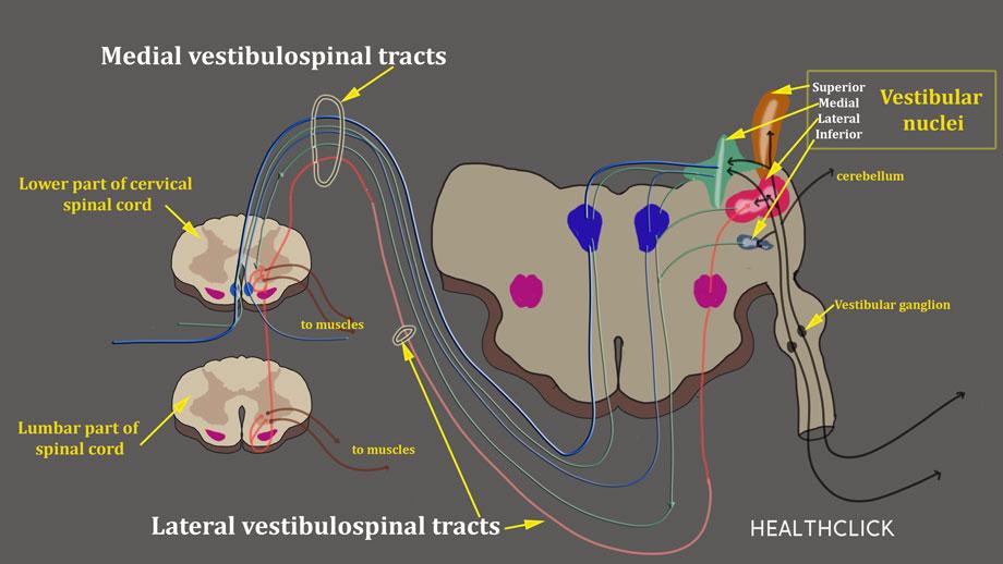 Vestibular Rehabilitation Online Course containing information on Convergence